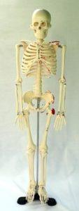 skelettb